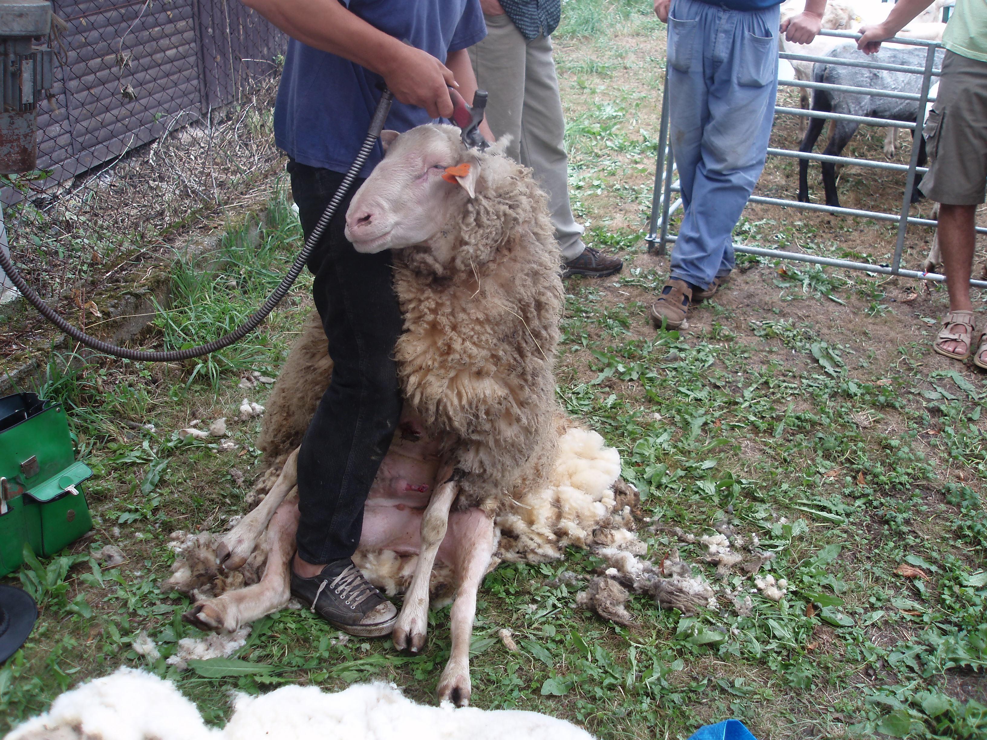 Krajská výstava ovcí a koz na Chodsku  0f9579e590b